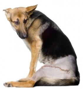 displasia-cadera-perros-3-282x300